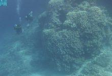 صورة الأول من نوعه في البحر الأحمر.. شاهد: اكتشاف مستعمرة مرجانية ضخمة في جزيرة الوقادي يعود عمرها لـ 600 عام