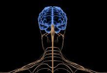 صورة ما هي  الوحدات الوظيفية الأساسية التى يتكون منها الجهاز العصبي؟