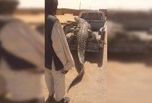 صورة بالصور.. اصطياد تمساح ضخم إلتهم شخصين من قبل مزارع سوداني