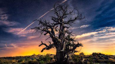 صورة شجرة العلعلان.. وصفة طبية مهددة بالإنقراض