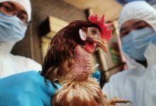 صورة تفشي إنفلونزا الطيور شديدة العدوى في هولندا