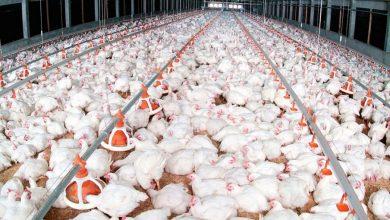 صورة الكويت تتخذ هذه الإجراءات للسيطرة على إنفلونزا الطيور