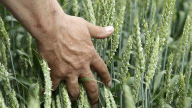 صورة قطاع الزراعة الروسي يسجل رقماً قياسياً في مجال المواد الغذائية والزراعة