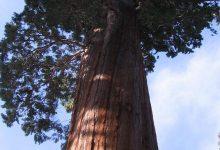 صورة أكبر شجرة في العالم