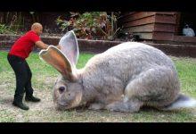 صورة بالصور: أكبر أرنب في العالم يتعرض للسرقة