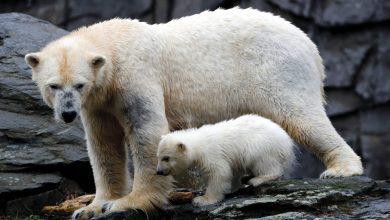 صورة ماذا يسمى صغير الدب؟