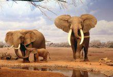 صورة مزاد في ناميبيا.. يمكنك شراء فيل بـ7 آلاف دولار