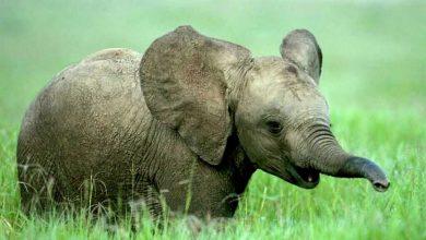 صورة ما تفسير رؤية الفيل في المنام لابن سيرين وابن شاهين والنابلسي؟
