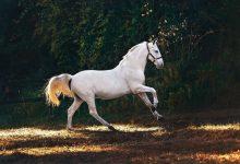 صورة هل يموت الحصان اذا اصيب ساقه؟