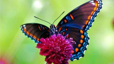 صورة 8 معلومات قد تعرفها لأول مرة عن الفراشة ومراحل دورة حياتها؟
