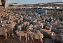 صورة ما هو نمط توزيع الحيوانات التى تعيش في قطيع؟