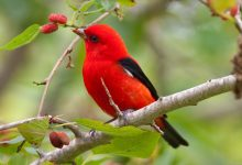 صورة تحرك معظم العصافير الطنانة أجنحتها حوالي 50 مرة في الثانية، فكم مرة في الدقيقة يحرك العصفور جناحه