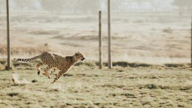 صورة كم سرعة الفهد؟